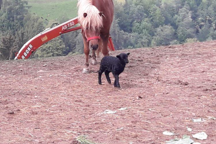 Pferd/Schaf